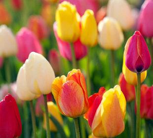 ดอกไม้ ยุโรป